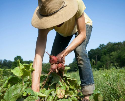 Anne Grier harvesting beets at Gaining Ground Farm in Leicester, North Carolina.
