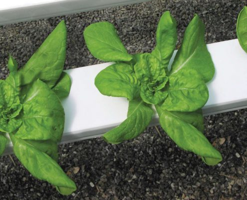 Hydroponic lettuce at Shelton Family Farm