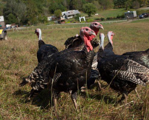 Turkeys at Franny's Farm in Leicester, North Carolina