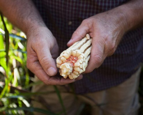 Corn from John McEntire's farm in Old Fort, North Carolina