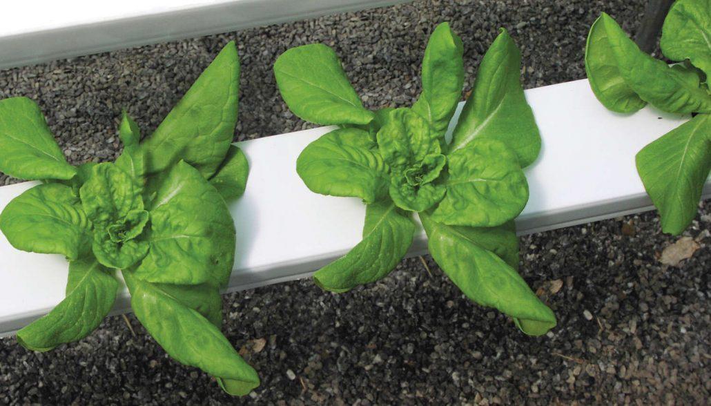 Hydroponic lettuce at Shelton Family Farm